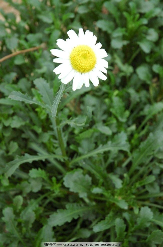 雏菊 小白花 野花 一朵雏菊 也雏菊 野草 花卉 风景 摄影 生物世界 花