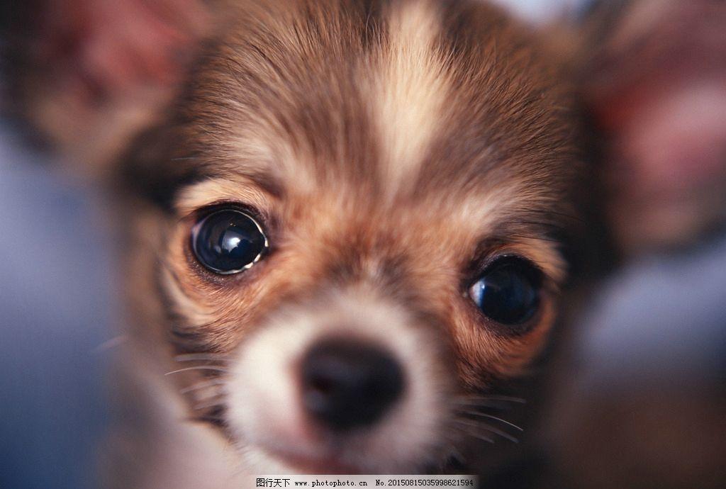 可爱 吉娃娃 动物 宠物 大眼睛 摄影 生物世界 家禽家畜 72dpi jpg