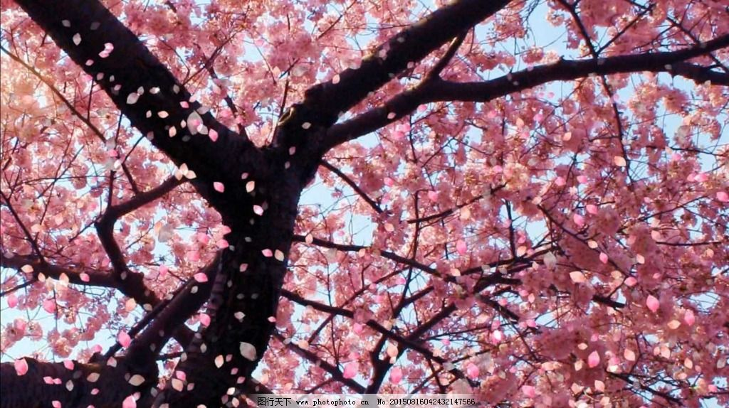 樱花飘落 视频素材