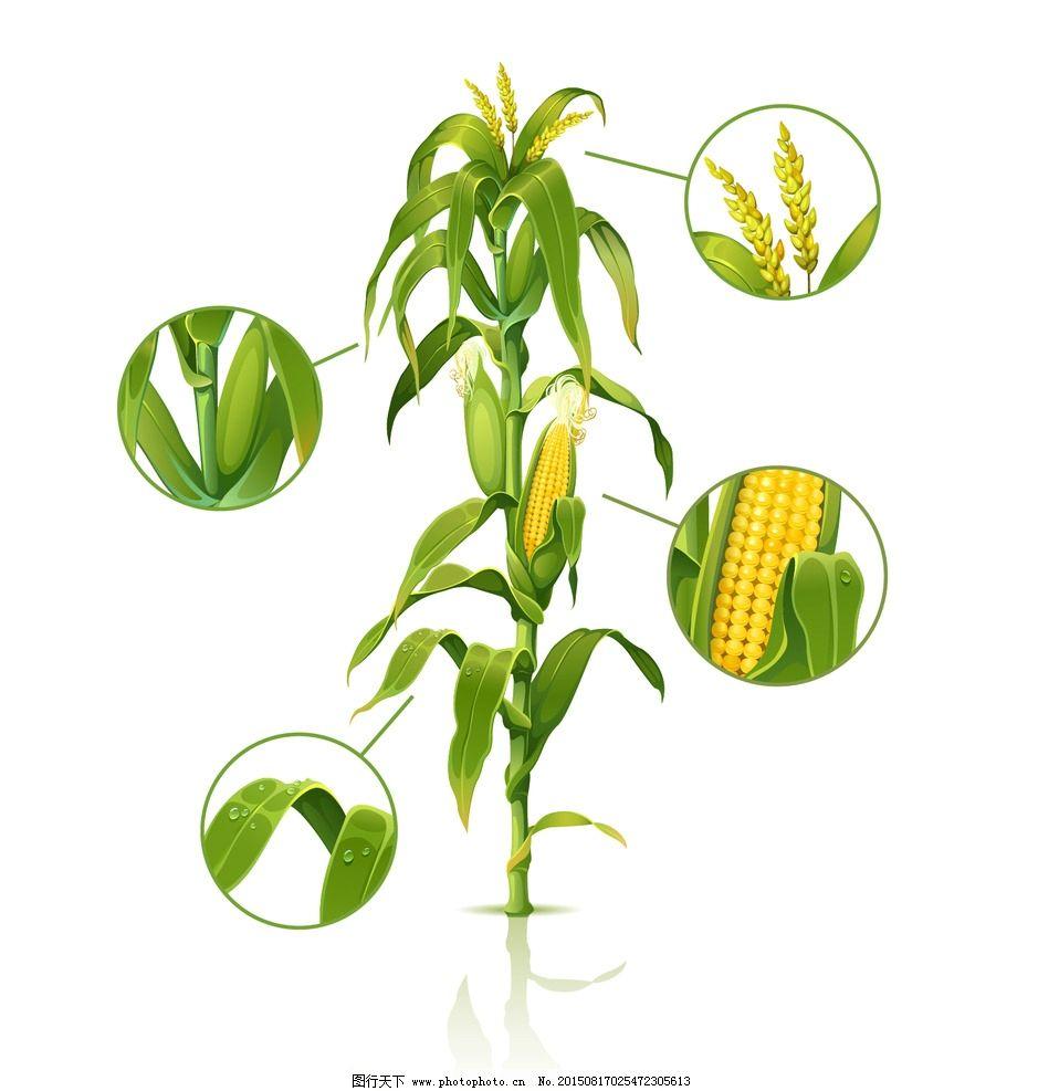 玉米秸秆图片