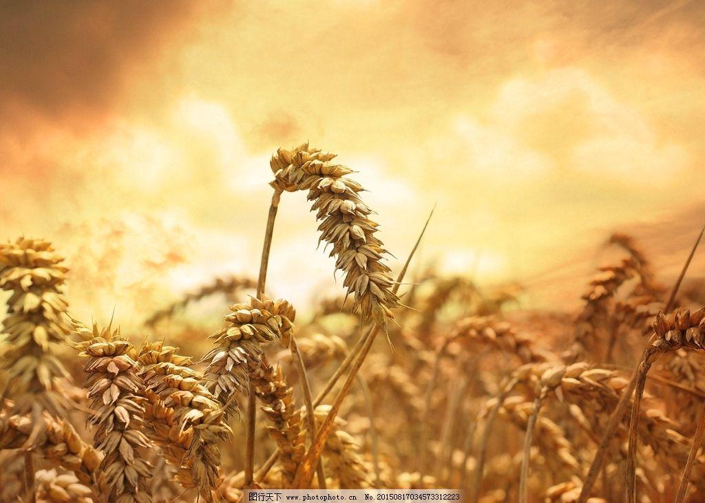 秋天丰收壁纸-麦田