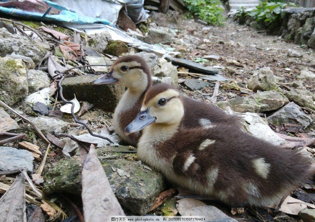 鹅 小鹅 小萌鹅 小灰鹅 小鸭 家禽动物 摄影 生物世界 家禽家畜 72dpi