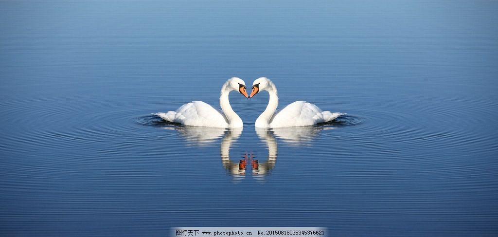 唯美 炫酷 可爱 天鹅 动物 野生 白天鹅  摄影 生物世界 鸟类 300dpi