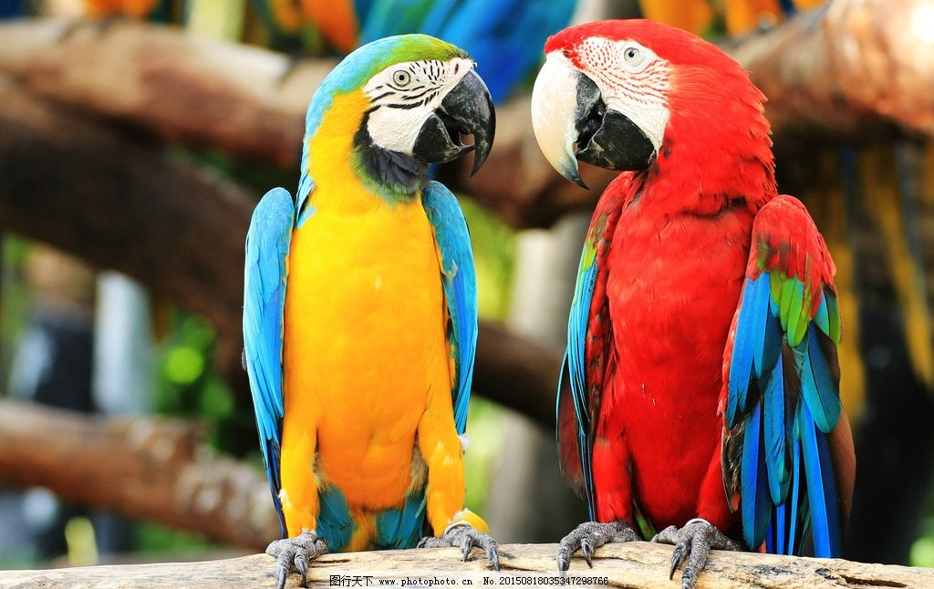 唯美 炫酷 动物 鸟类 野生 鹦鹉 可爱鹦鹉 金刚鹦鹉 摄影 生物世界