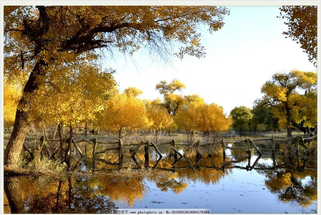 胡杨 黄叶 古树 胡杨林 额济纳 摄影 摄影 自然景观 自然风景 300dpi