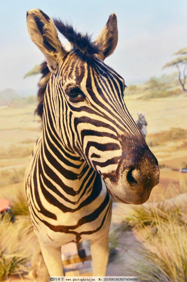 斑马 马 非洲斑马 斑马头 马头 摄影 生物世界 野生动物 300dpi jpg