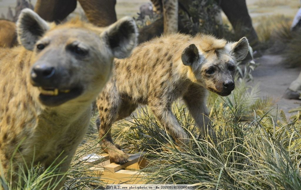 斑鬣狗 非洲 猎狗 非洲猎狗 土狗 摄影 生物世界 野生动物 300dpi jpg