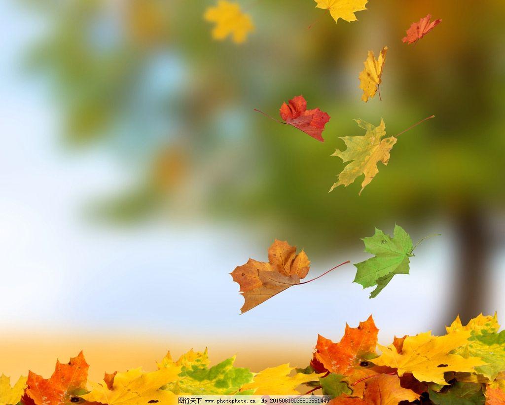 秋天枫叶 红色枫叶 火红枫叶 秋叶 落叶 红叶 摄影图片
