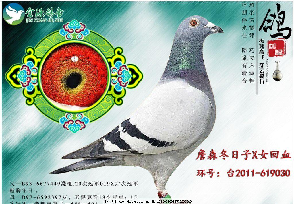 超级种鸽和优秀赛鸽的眼睛会说话