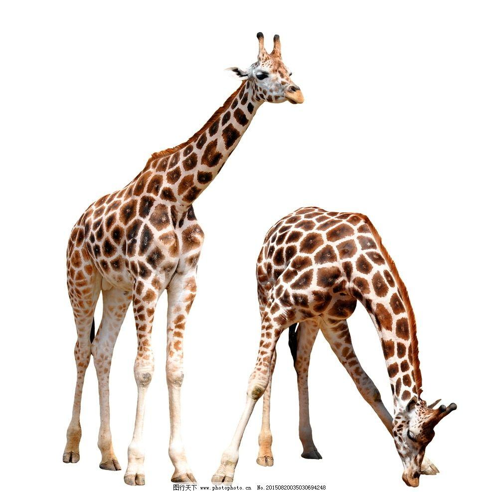 唯美长颈鹿图片,动物 可爱 摄影-图行天下图库