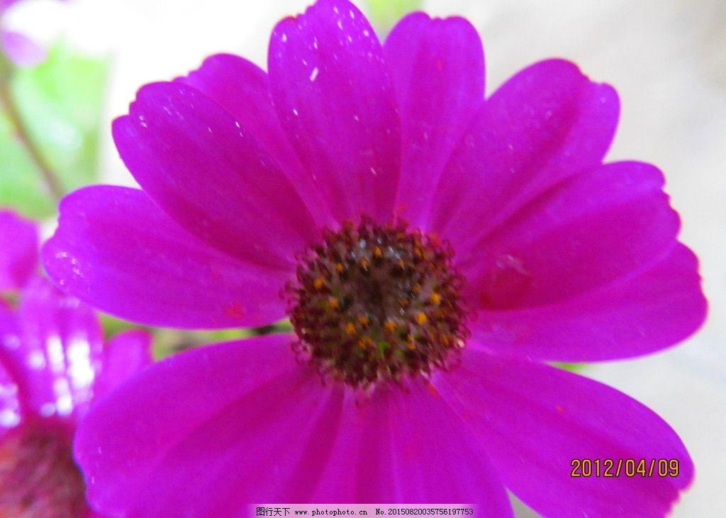 非洲菊 野花 玫红色 玫红花 绿叶 紫色 绿色 摄影