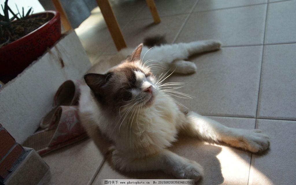 布偶猫 可爱 宠物 摄影 无后期 摄影 生物世界 家禽家畜 300dpi jpg