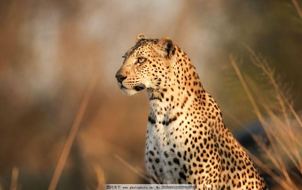 非洲 野兽 草原 气质 猎豹 动物摄影 摄影 生物世界 野生动物 300dpi