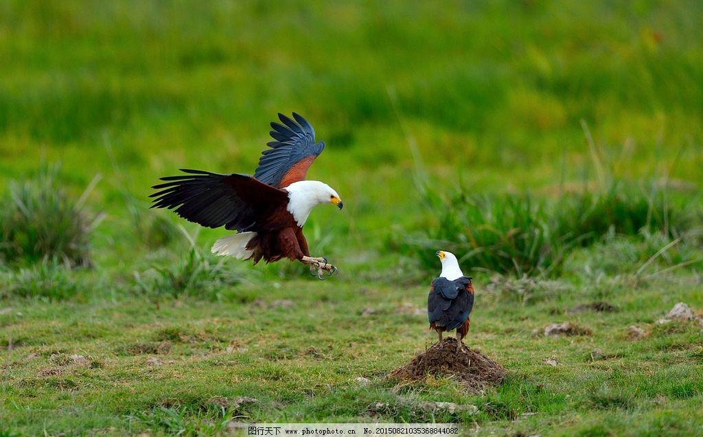 非洲海雕 野生动物 自然 鸟 摄影 生物世界 鸟类