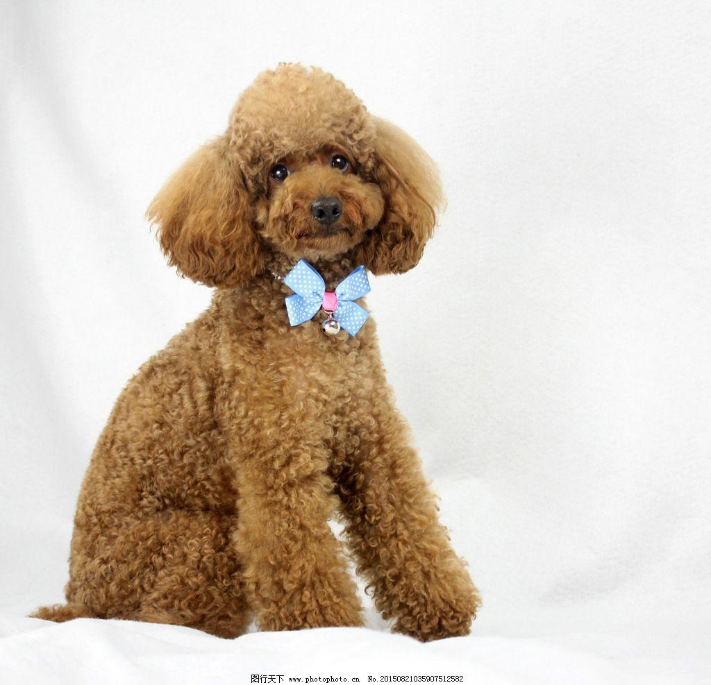 泰迪狗的情侣头像