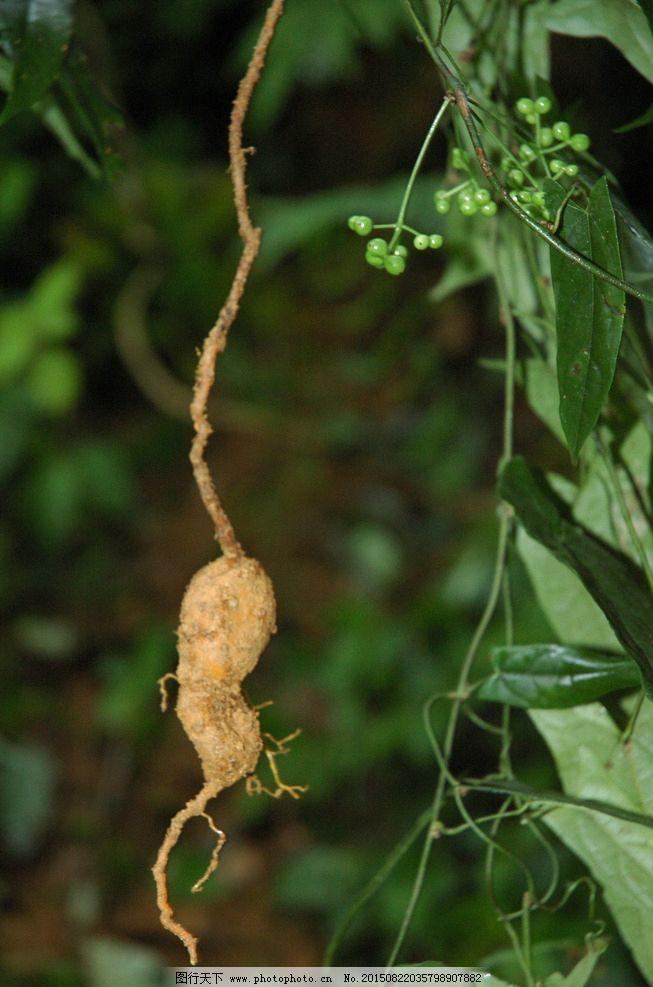 带根茎植物图片