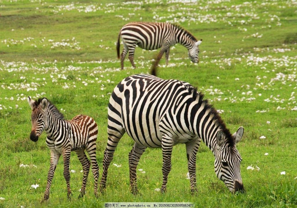 斑马 斑马纹 豹纹 斑马动物 野生动物 动物 摄影 生物世界 野生动物