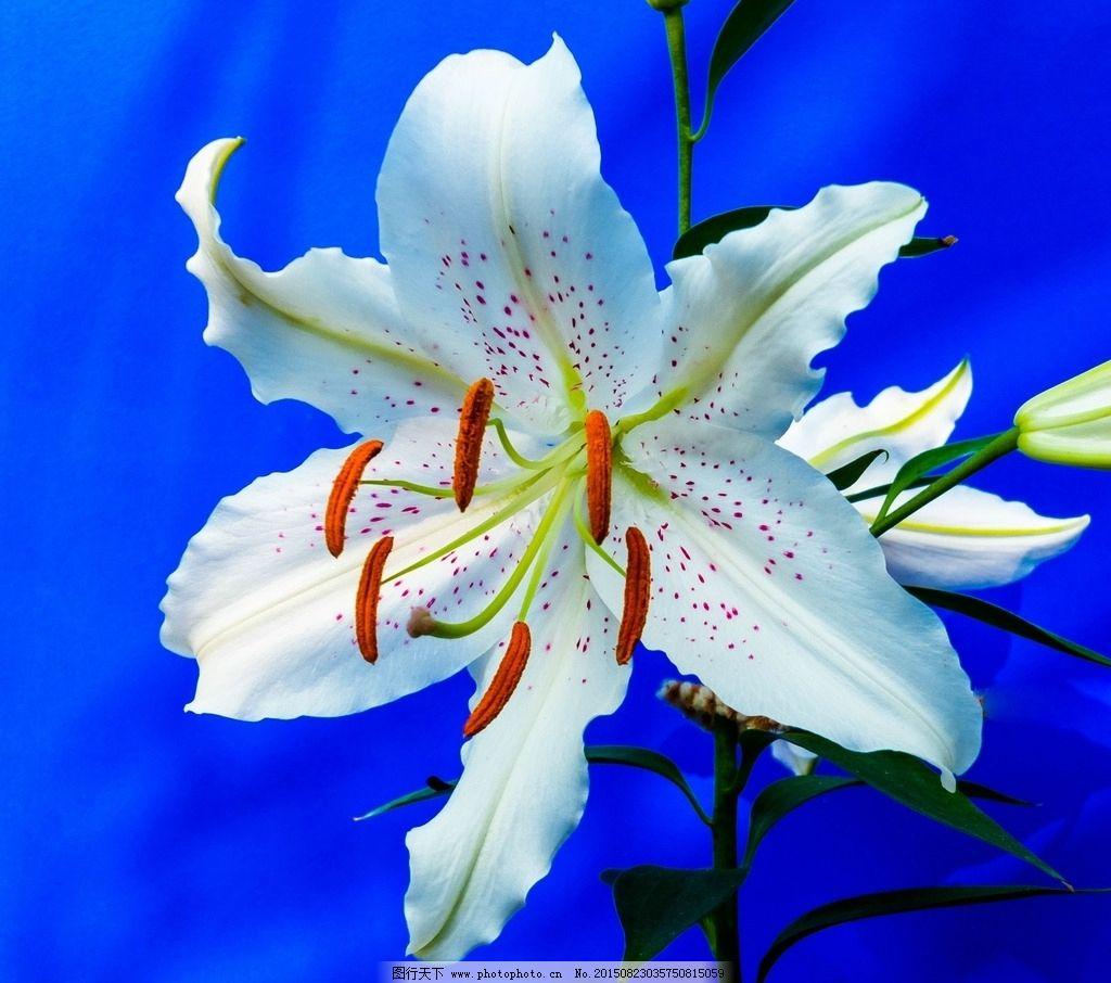 百合花 白色百合花 白百合 百合花开 鲜花 背景 花朵 花卉 花草树木