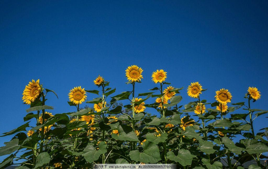 向日葵 向阳花 太阳花 葵花 向日葵照片 向日葵图片 葵花墙纸 向日葵