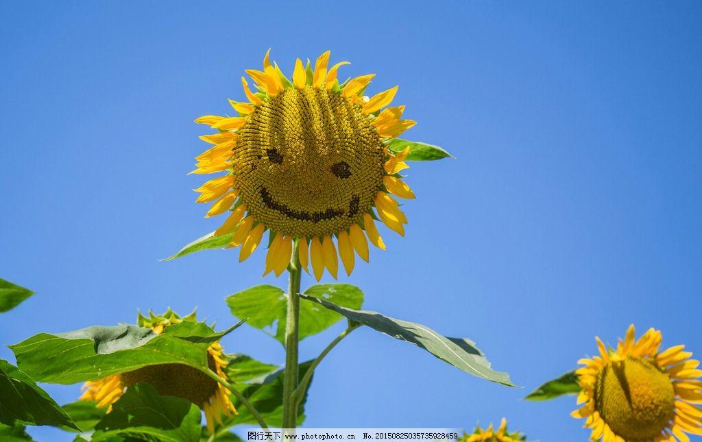 向日葵 向阳花 太阳花 葵花 笑脸 向日葵照片 向日葵图片 葵花墙纸