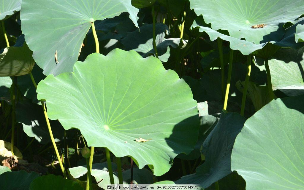 荷花 荷叶 荷花池 一片荷叶 绿叶 摄影 生物世界 花草 300dpi jpg