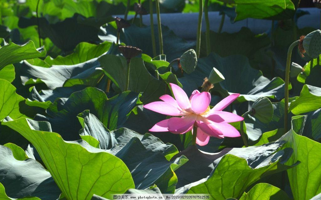 荷花 荷叶 荷花池 一片荷叶 花朵 摄影 生物世界 花草 300dpi jpg