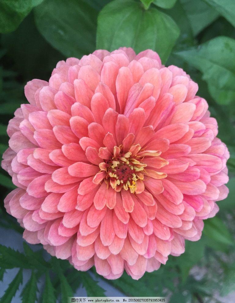 粉红色的花 花 红花 大花朵 背景花 一朵花 摄影 生物世界 花草 72dpi