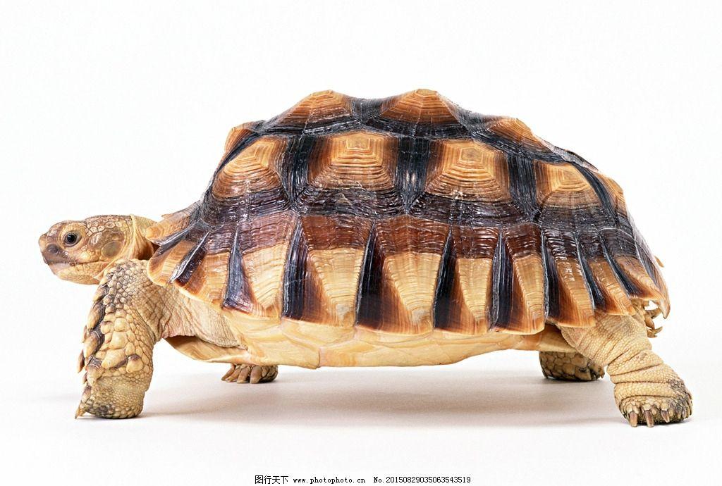 龟 乌龟 动物 龟照片 金钱龟 鳄龟 摄影 生物世界 野生动物
