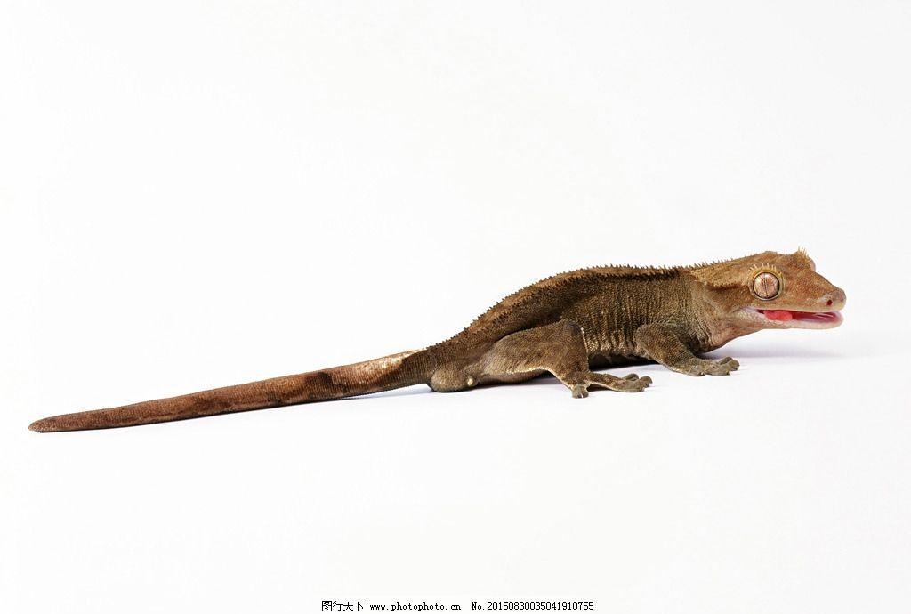 蜥蜴 变色龙 非洲变色龙 壁虎 爬山虎 摄影 生物世界 野生动物