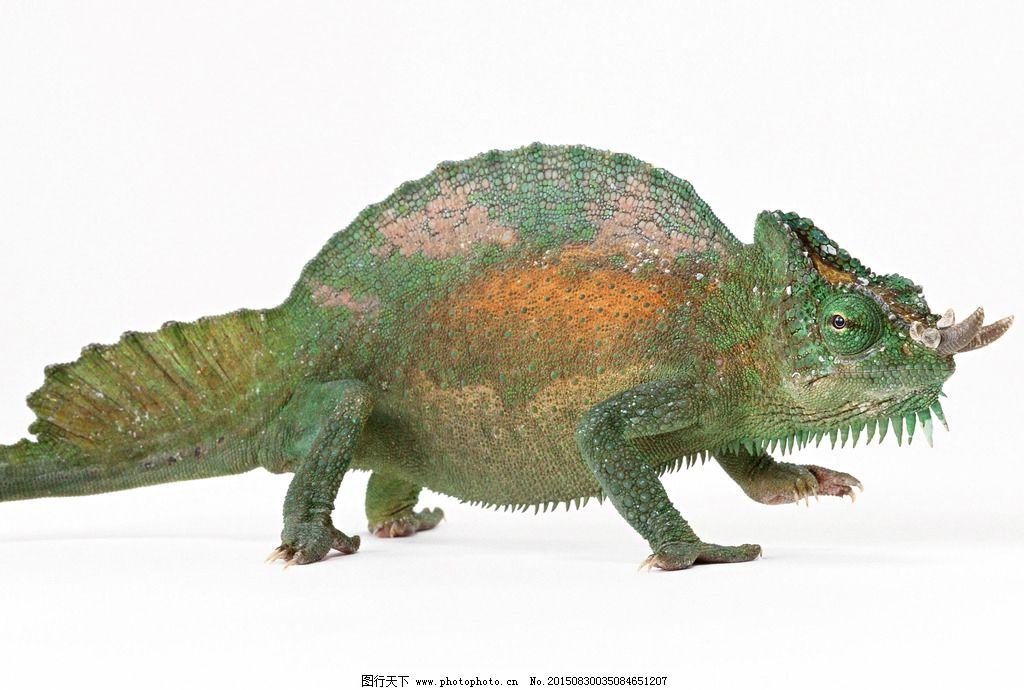 变色龙 蜥蜴 非洲变色龙 摄影 生物世界 野生动物