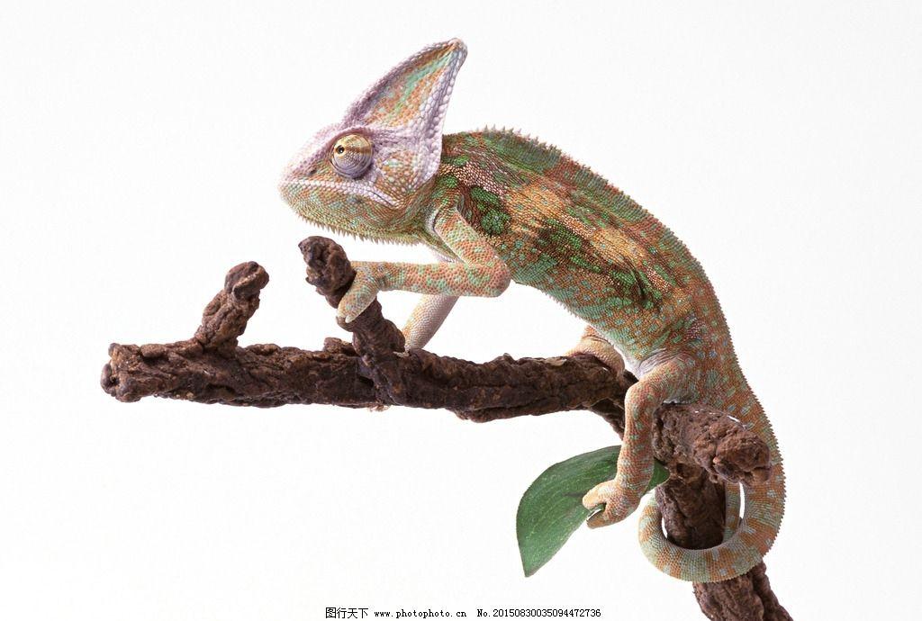 蜥蜴 变色龙 非洲变色龙 龙 变色 摄影 生物世界 野生动物 350dpi jpg