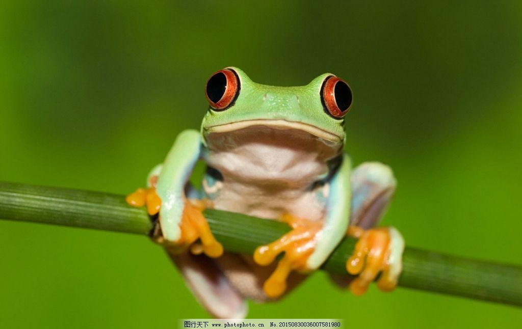 青蛙 绿色 蟾蜍 两牺动物 高清素材 桌面壁纸 摄影 生物世界 其他生物