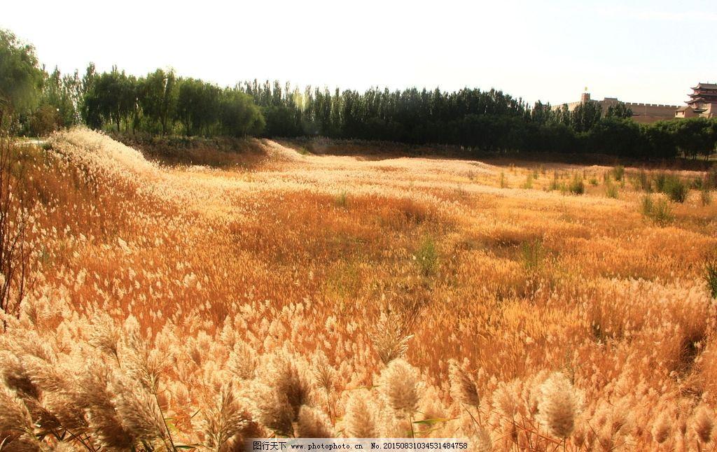 芦苇图片_田园风光_自然景观_图行天下图库
