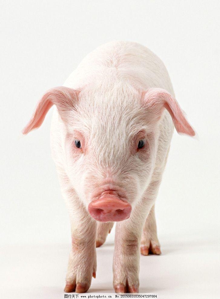 2019年历带猪模板