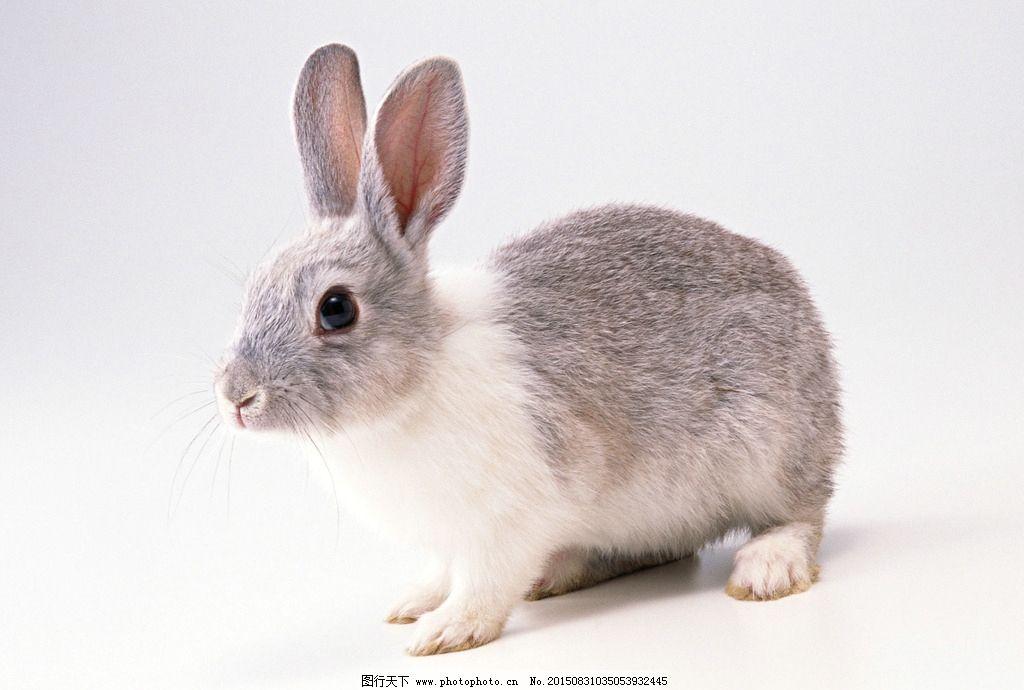 兔子 小灰兔 小白兔 兔 家兔 野兔 摄影 生物世界 野生动物 350dpi
