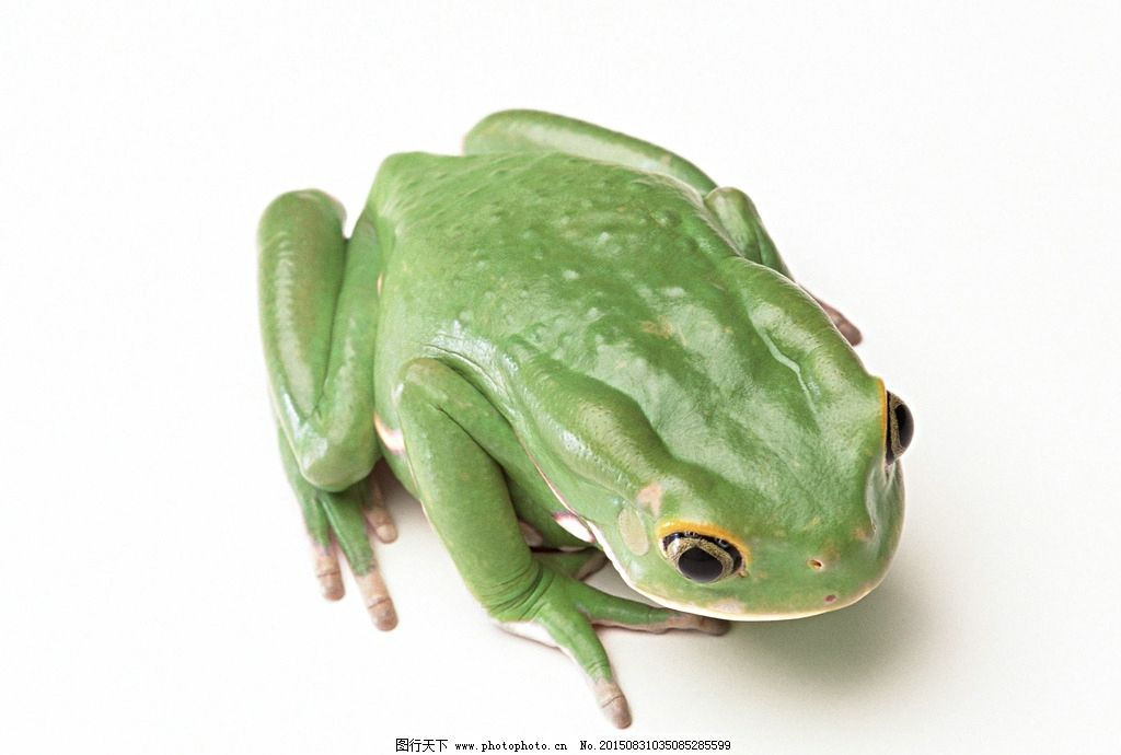 青蛙 蛙 绿色蛙 蛤蟆 蟾蜍 摄影 生物世界 野生动物 350dpi jpg