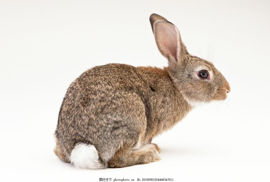 兔子 小灰兔 小白兔 家兔 野兔 摄影兔子 动物世界