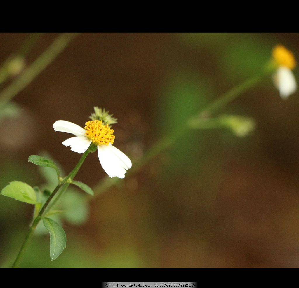 小景深雏菊