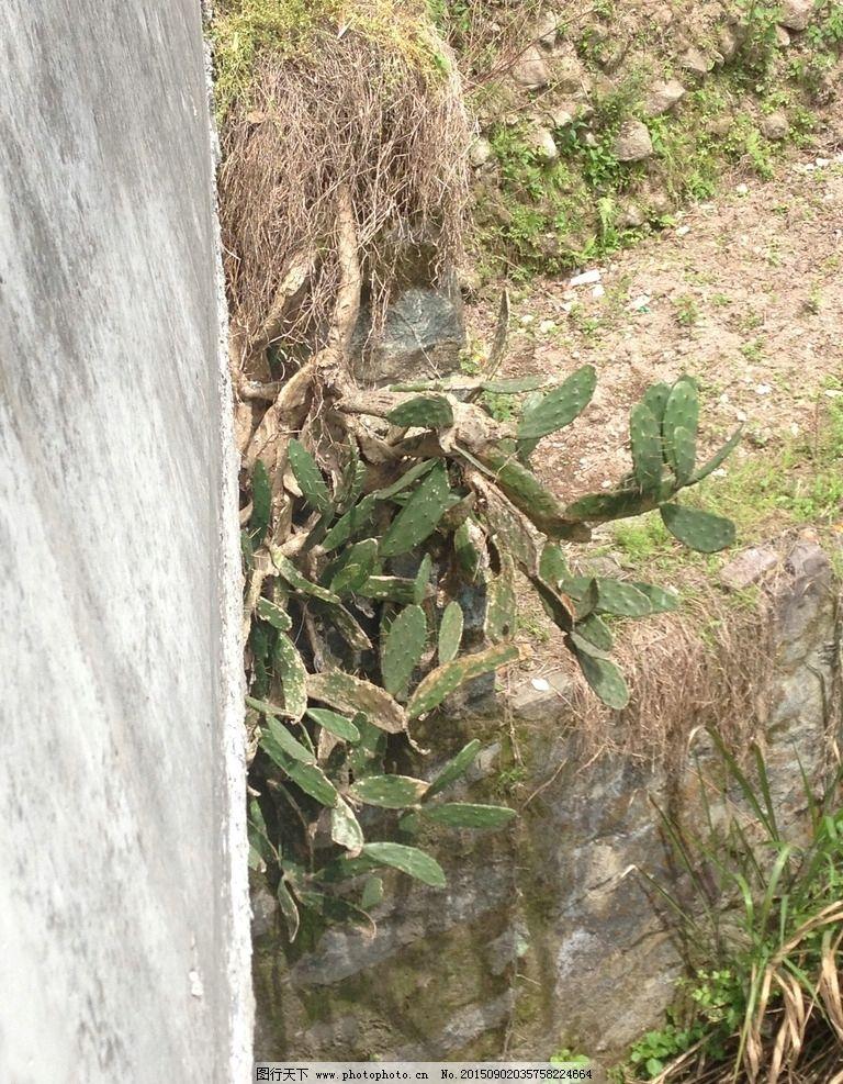 木质化仙人掌