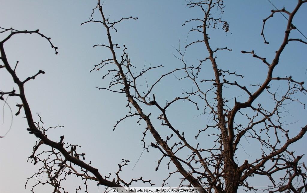 酸枣树 树木 冬天枣树 天空 旅游 摄影作品 摄影 自然景观 拍照作品