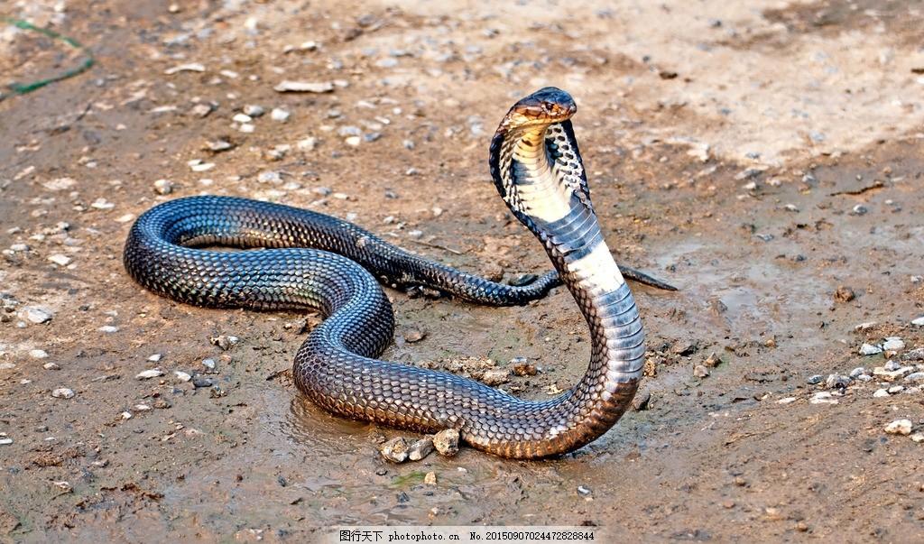 眼镜蛇 直立 动物 冷血 眼镜王蛇 爬行 高清写 真标本 毒蛇