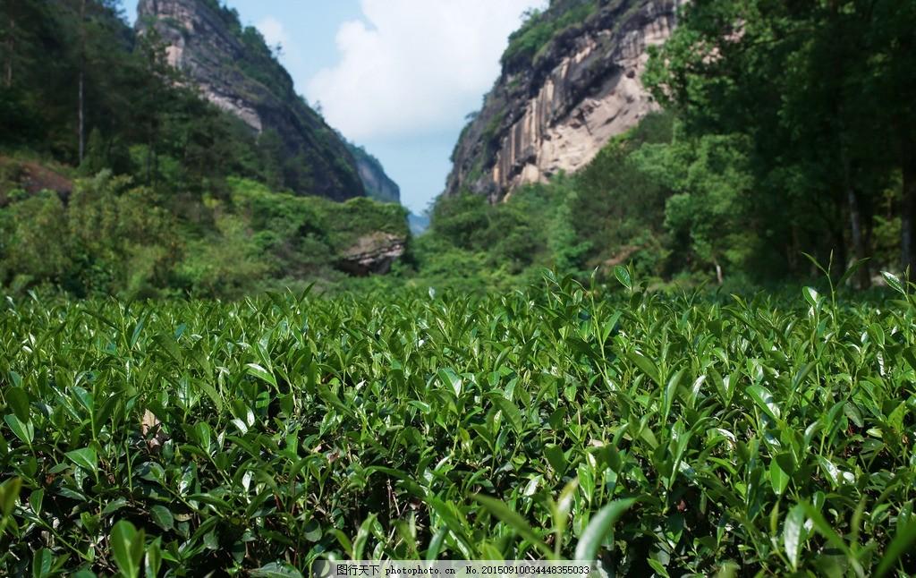 茶叶 茶 茶叶 茶山 岩茶 茶青 肉桂 摄影 摄影 自然景观 山水风景 72