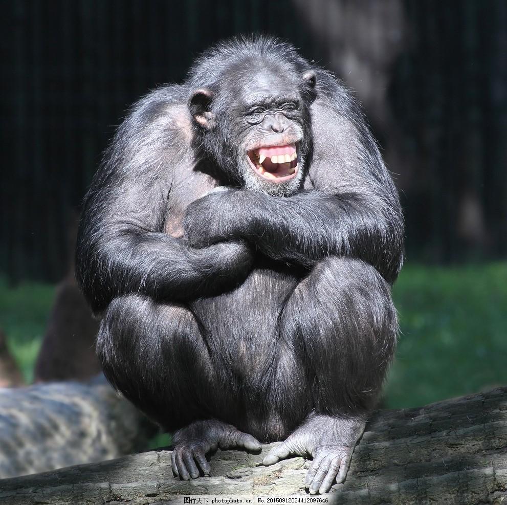 唯美 炫酷 黑猩猩 猩猩 灵长类 动物 野生 可爱 摄影 生物世界 野生