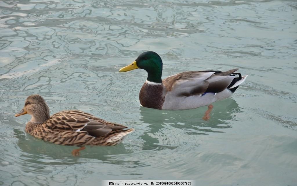 野鸭 禽类 鸟类 水生 动物 摄影 其他生物