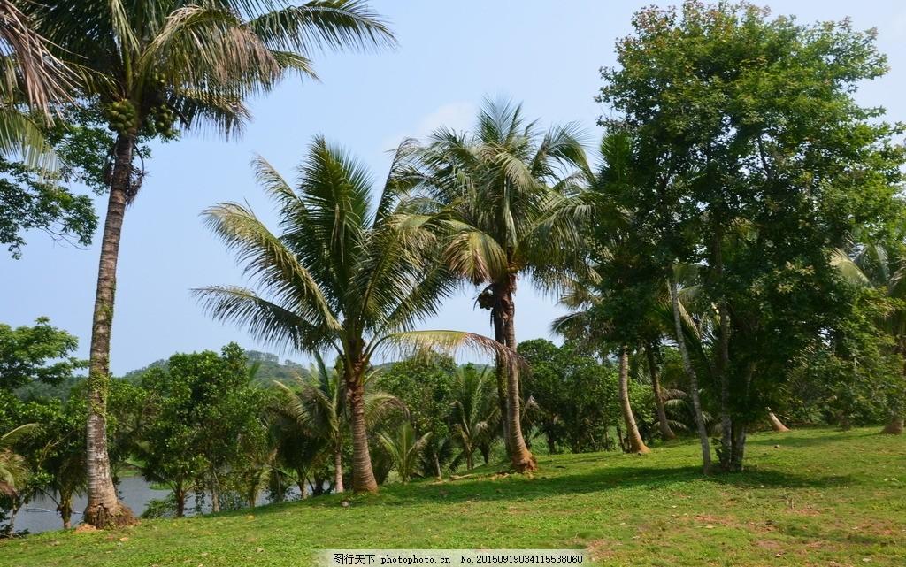 椰子树 椰树 椰子 热带 植物 树 海南风光 草坪 海南风光 摄影 自然