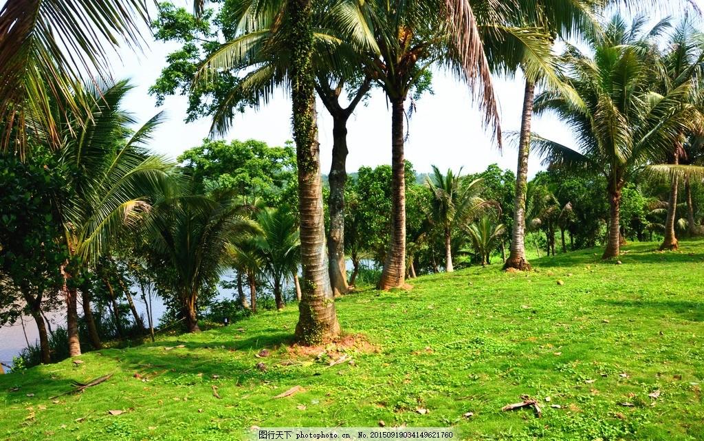 椰子树 椰树 椰子 热带 植物 树 海南风光 草坪 椰子林 海南风光 摄影
