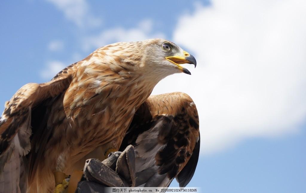 老鹰 金鹰 飞行动物 生物 摄影