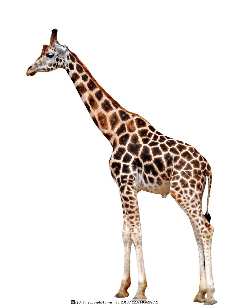 炫酷长颈鹿 唯美 炫酷 动物 可爱 野生 长颈鹿 摄影 生物世界 野生