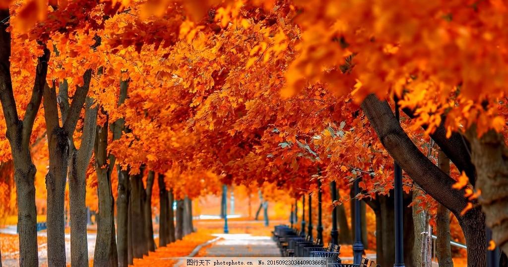 枫叶 树 光线 风景 天空 树林 户外 美丽风景 摄影