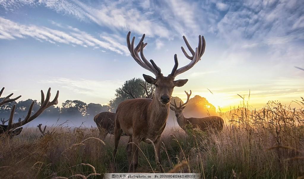 动物世界 草原 麋鹿 鹿群 树林 森林 小草 天空 草地 蓝天白云